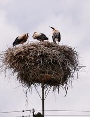 Drei Störche oben im Nest