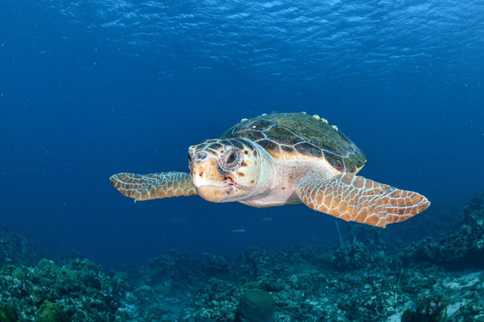 Old Loggerhead turtle with barnacles and blue background