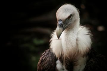 Eagles family vultures portrait on stone background. Close-up. Unrecognizable place. Selective focus Fototapete