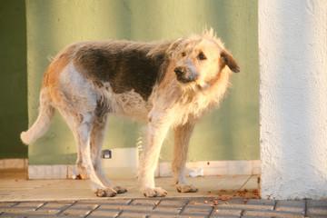 Cão doméstico de cor amarelada com manchas pretas.