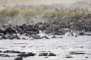 Zebras and Wildebeests crossing the Mara River