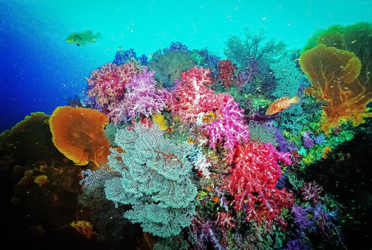 Colourful collection of soft corals with seafans. It is mixed of red, pink, blue, purple soft corals with red white seafan and yellow seafan. Photo: East of Eden, Similan Island, Thailand.