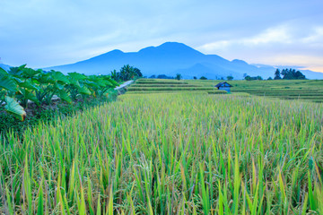 the beauty of the mountain ranks when the rice is in the beautiful season and green and yellow rice with sunny weather