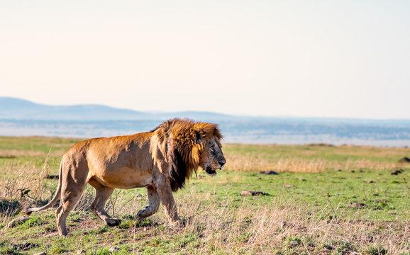 Portrait of the legendary lion called Bob Marley, Masai Mara, Kenya