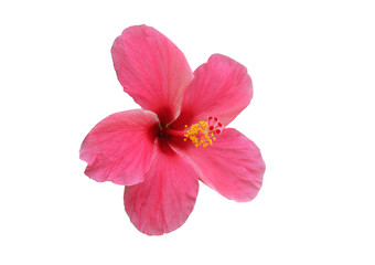isolated​ Hibiscus flower on​ white​ background.​ pink  flower​ on​ white​ background.