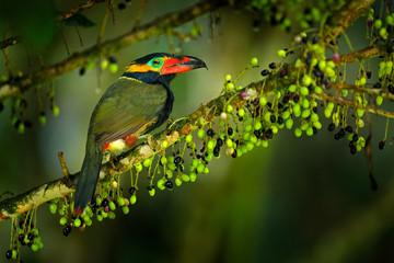 Wall Mural - Small toucan with fruits. Golden-collared Toucanet, Selenidera reinwardtii, in the nature forest habitat. Bird in the tropic jungle, Sumaco, Napo, Ecuador.