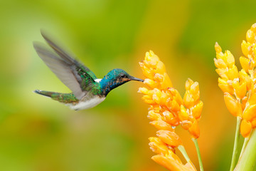 Humminbird from Colombia  in the bloom flower, Colombia, wildlife from tropic jungle. Wildlife scene from nature. Hummingbird with pink flower, in flight. - fototapety na wymiar
