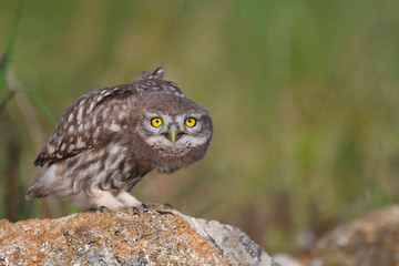 Fototapete - Young little owl, Athene noctua, stands on a stone and looks at the camera