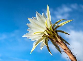 Wall Mural - White color with fluffy hairy of Cactus flower and blue sky background