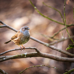 A square format image of a Dunnock, Prunella modularis, perched on a tree branch in the spring sunshine.