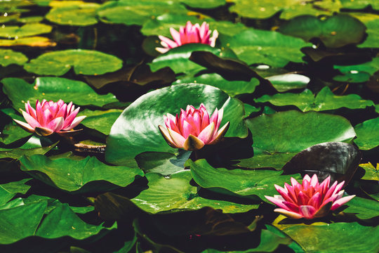 Lily pads in bloom in a zen like tranquil pond on Bowen Island BC Canada