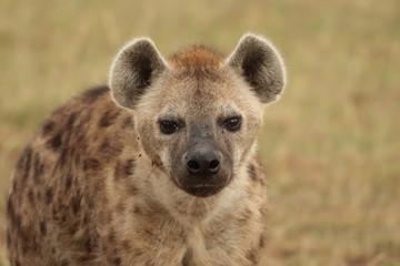 Fotobehang Hyena Spotted hyena face closeup, Masai Mara National Park, kenya.