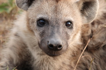 Fotobehang Hyena Spotted hyena portrait, Masai Mara National Park, Kenya.