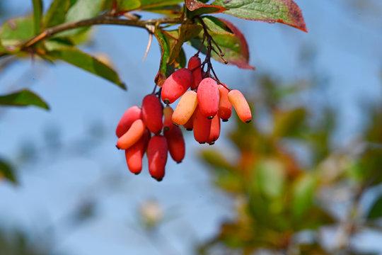 Berberitze / Sauerdorn (Berberis vulgaris) - barberry