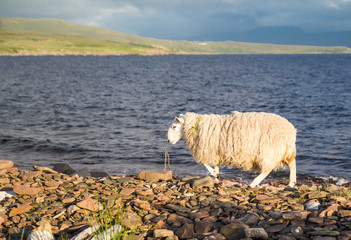 Sheep grazing freely by the sea, near Achiltibuie, Scotland
