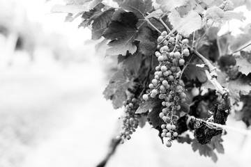 grape vine plants orchard monochrome
