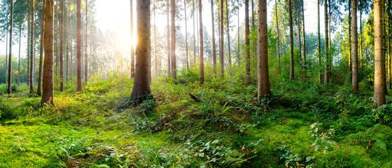 Fototapete - Sonnenaufgang in einem nebligen Wald mit dicht bewachsenem Waldboden