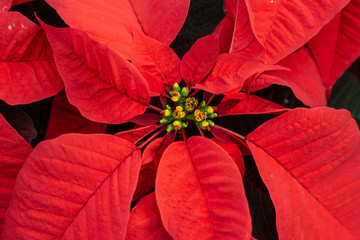 Close-up of bright red poinsettia plant at greenhouse
