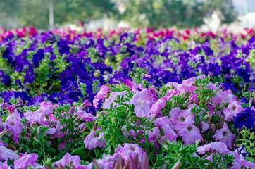 Beautiful step garden of pink & blue petunia flowers.