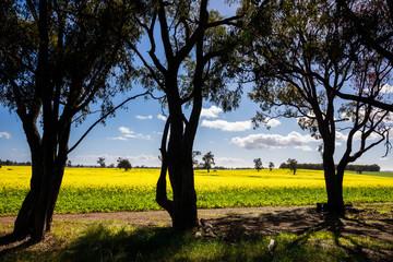 Canola Field trough Trees in Toodyay, Western Australia
