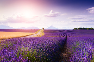 Poster Campagne Lavender fields at sunset near Valensole, Provence, France. Summer landscape with blooming lavender flowers