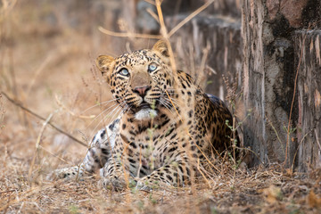 urban area Indian leopard head shot looking straight to the camera with intense expressions at jhalana forest reserve Jaipur - panthera pardus