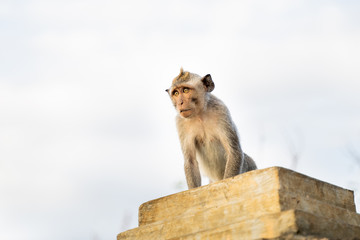 Image of little monkey sitting on the rock.