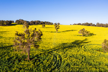 Circular tracks in Canola Field in Toodyay, Western Australia