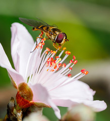Hover Fly on a Peach Flower in Perth, Western Australia
