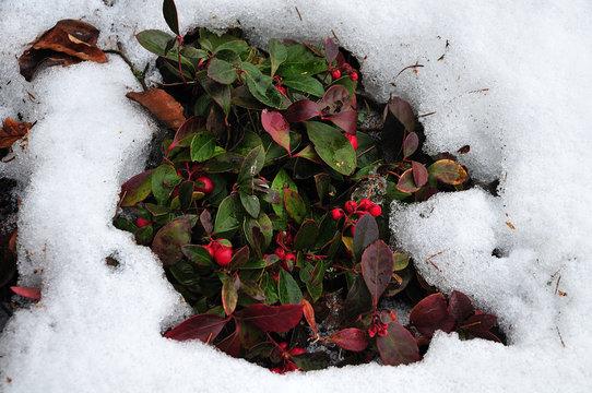 red berries of american wintergreen in snowy garden