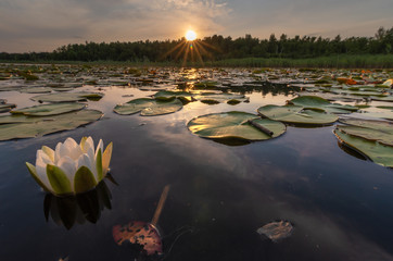 Landscape evening with sunset on a lake with lilies, with beautiful sky in summer season
