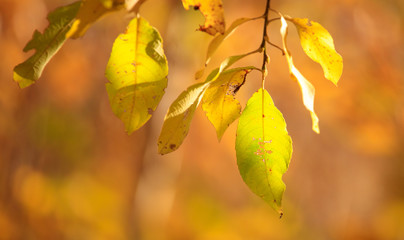 The leaves on the branches of birch