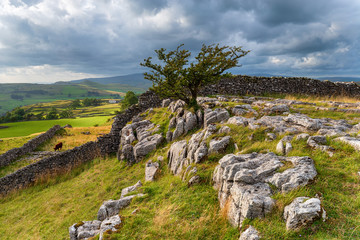 Wall Mural - A windswept Hawthorn tree growing out of a limestone pavement at the Winskill Stones