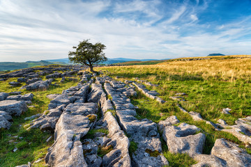 Wall Mural - A windswept Hawthorn tree growing on a limestone pavement in the Yorkshire Dales