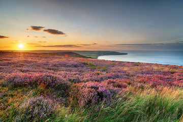 Poster Gray Sunset over heather in bloom on the North York Moors National Park