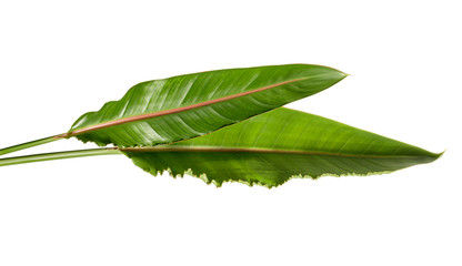 Strelitzia reginae leaves, Bird of paradise foliage, Tropical leaf isolated on white background, with clipping path