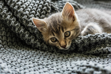 Gray striped kitty sleeps on knitted woolen gray plaid. Little cute fluffy cat. Cozy home.
