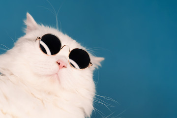 Close portrait of white furry cat in fashion sunglasses. Studio photo with copy space. Luxurious domestic kitty in glasses poses on blue background wall.