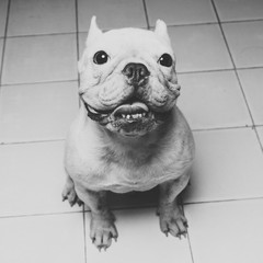White French Bulldog Sitting on White Floor in Black and White picture