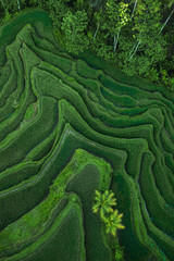 Poster Rice fields Aerial view of Tegallalang Bali rice terraces. Abstract geometric shapes of agricultural parcels in green color. Drone photo directly above field.