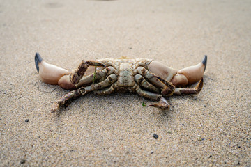 Dead crab in sand washed up on beach in Summer view towards Horseid beach, Lofoten Islands, Norway