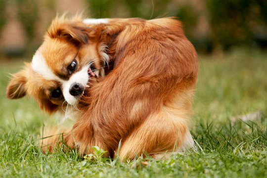 A Pekingese full of fleas is scratching his fur