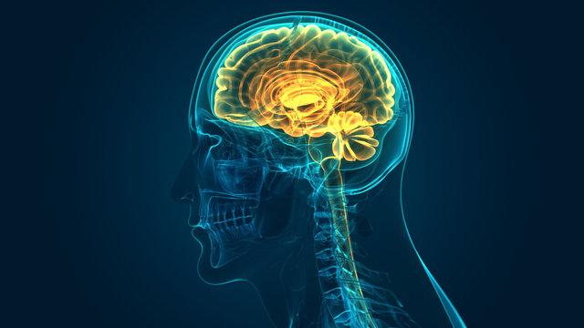 Human Central Nervous System brain Anatomy