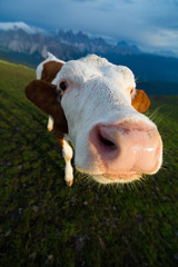cow at sunset on a alpine meadow
