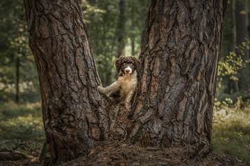 perro de agua espanol spanischer wasserhund
