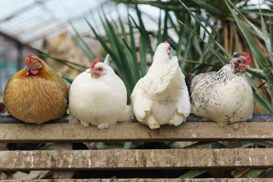Four different chickens perch in a chicken coop