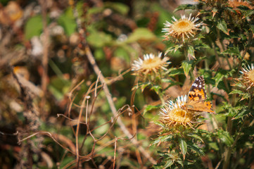 The Painted Lady Butterfly, Vanessa cardui, feeding on a Carline Thistle, Carlina vulgarisms, Dungeness nature reserve, Kent, England.