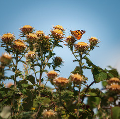 The Painted Lady Butterfly, Vanessa cardui, feeding on a Carline Thistle, Carlina vulgarisms, Dungeness nature reserve, Kent, England