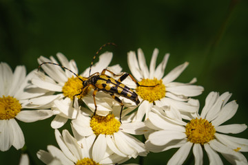 Spotted long horn beetle on the daisy flower. Ruptela Maculata