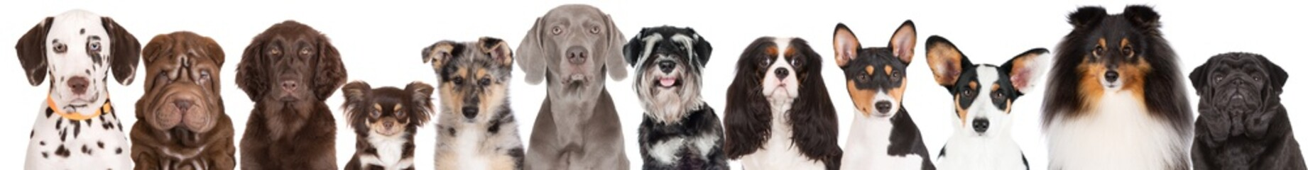 group of dogs portraits on white background